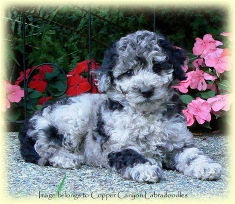 Angie's Labradoodle Puppies | Copper Canyon Labradoodles