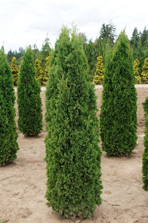 KG Farms INC - Thuja occidentalis Degroot s Spire