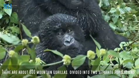 The Story Of Dian & Digit ( for The Dian Fossey Gorilla