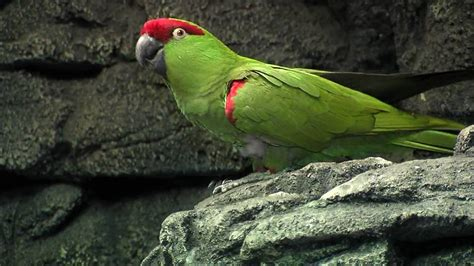 Thick-Billed Parrot-Cincinnati Zoo - YouTube