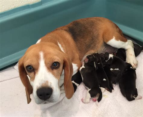 Available Beagle Puppies – Jackpot & Kingsbury Hounds