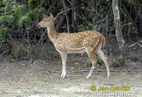 Axis axis Pictures, Spotted Deer Images, Nature Wildlife