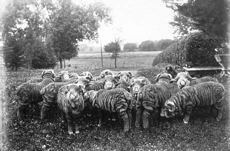 The Spanish Sheep Craze That Forever Changed Vermont - New