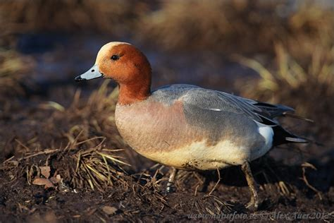 Wigeon Photos, Wigeon Images, Nature Wildlife Pictures